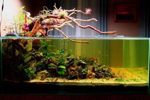 Water Lettuce Aquarium