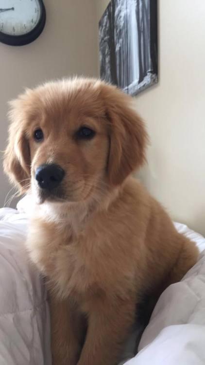 Cute Golden Retriever Puppy Rose