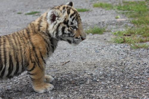 baby tiger on Tumblr