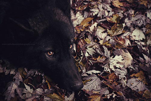 Eyes Dark Brown Black Yellow And White And Wolf