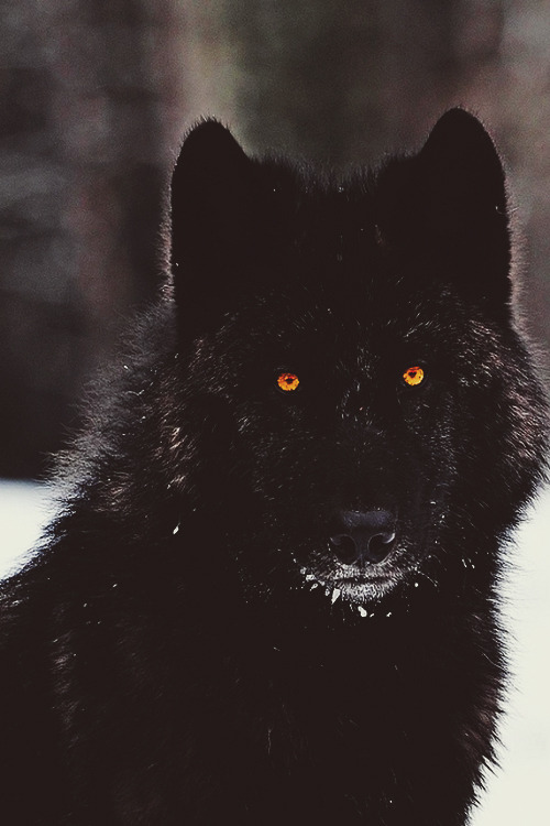 And Blue Wolf Black Male