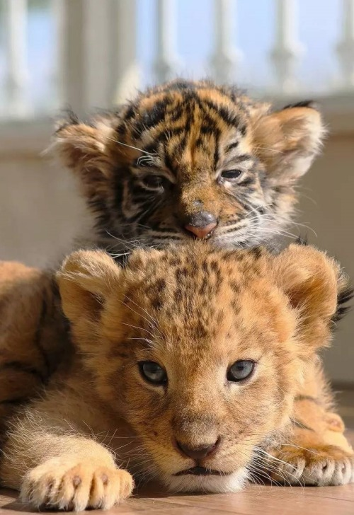 cute love tiger baby | Tumblr