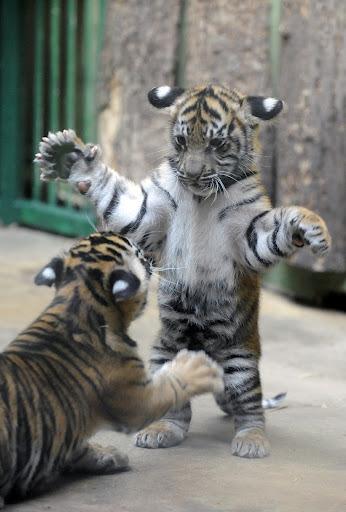 baby tigers on Tumblr