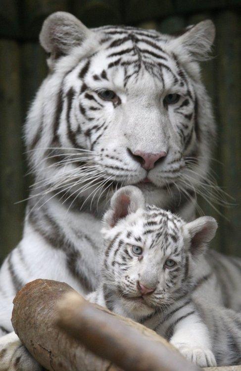 baby white tiger on Tumblr