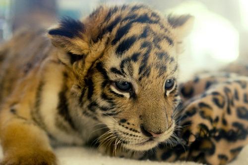 cute tiger on Tumblr