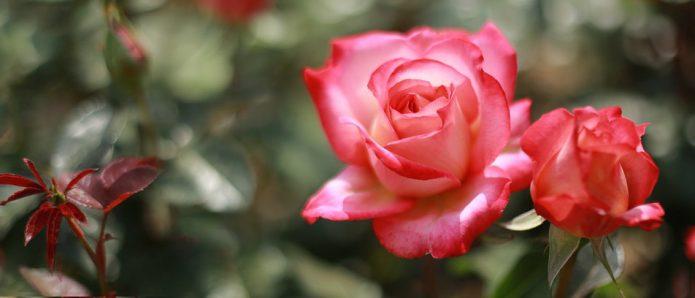 Гүл Роза