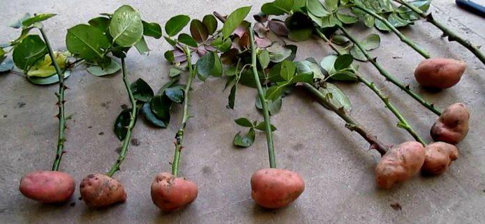 Картоп түйнектеріндегі розеткалар