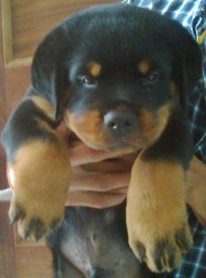 Ch Turbo Power Son Rottweiler Cute Puppy 43days Old A