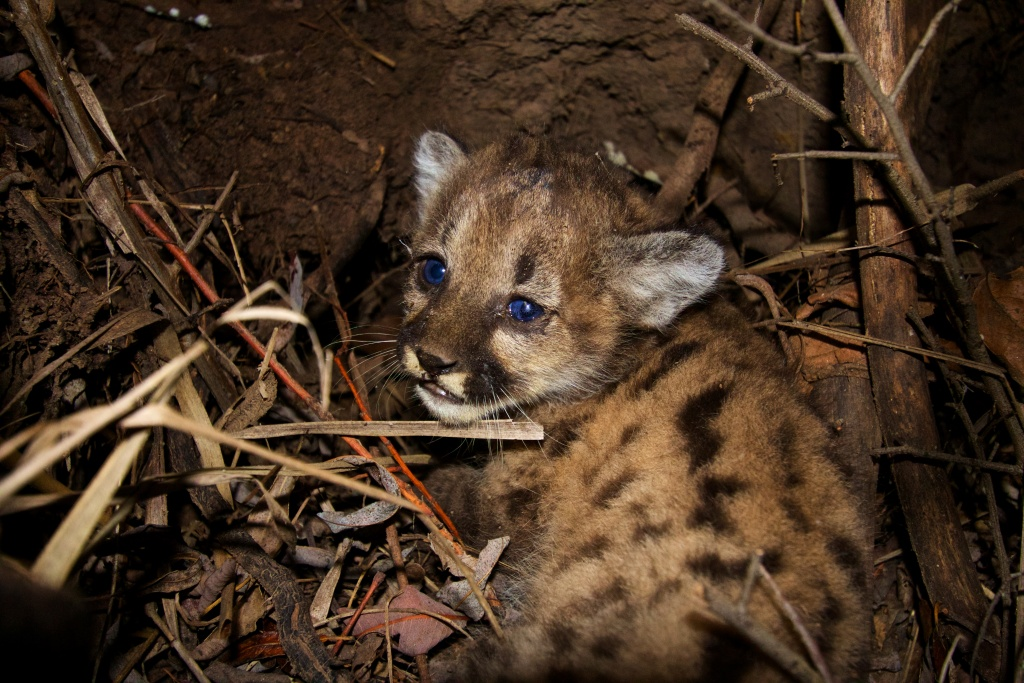 Slideshow 3 Young Mountain Lions Found Dead In Santa Monica Mountains In Recent Weeks 89 3 Kpcc