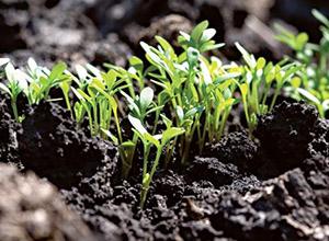 O soluție de peroxid de hidrogen este de 2-3%. Pentru a dezinfecta semințele, soluția este preîncălzită la 38-40 °. În această soluție, acestea sunt menținute timp de 7-8 minute.