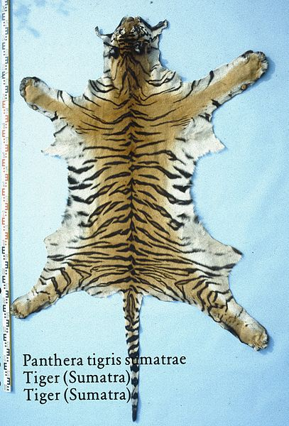 Image of: Siberian Tigers About Endangered And Siberian Tigers Youtube Learning About Siberian Tigers And Their History