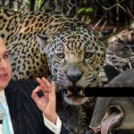 Fiscal investigará Jaguar de documental «Colombia magia salvaje»