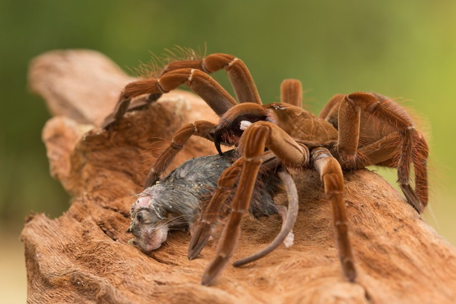 Wanted  Goliath Birdeater   Wanted