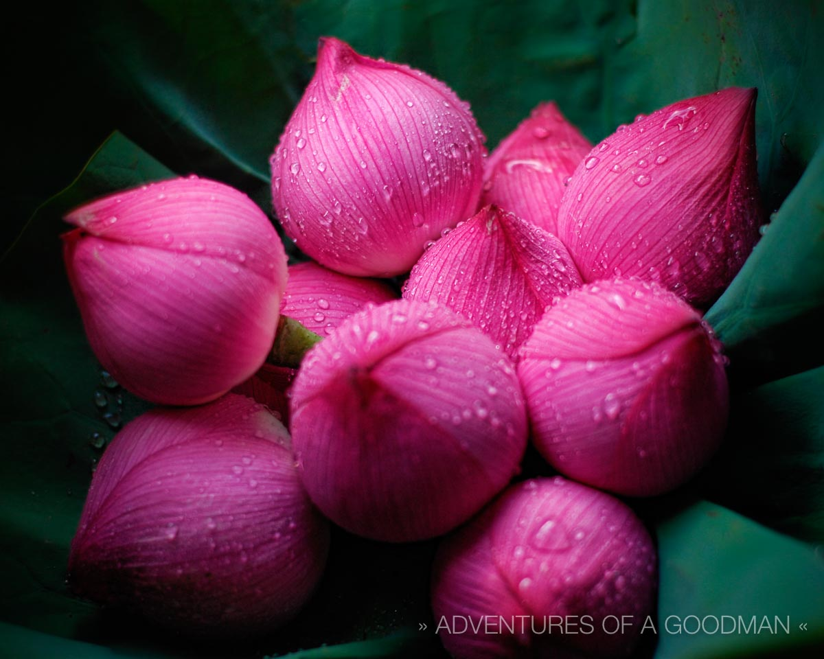 Dew You Like Lotus Flowers       Greg Goodman  Photographic Storytelling Lotus flowers for sale at the Mongkok Flower Market in Kowloon  Hong Kong