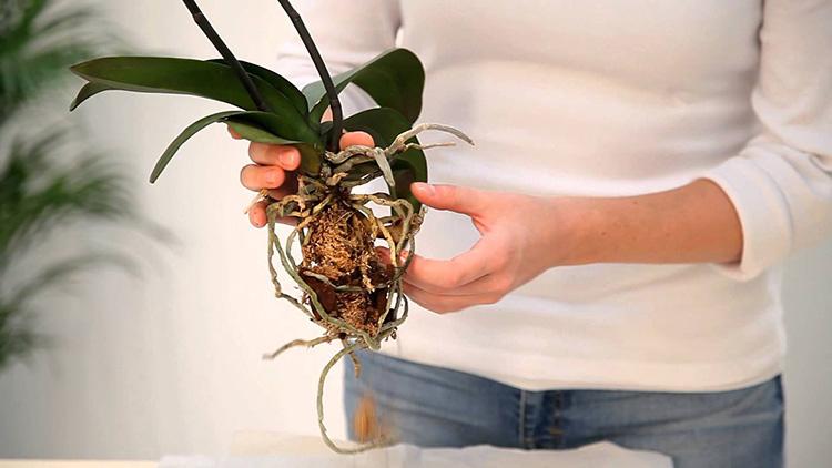 Oleenopsis đáng yêu: Chăm sóc tại nhà