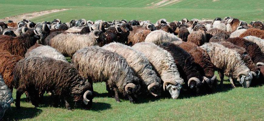 Miten kasvattaa lampaita