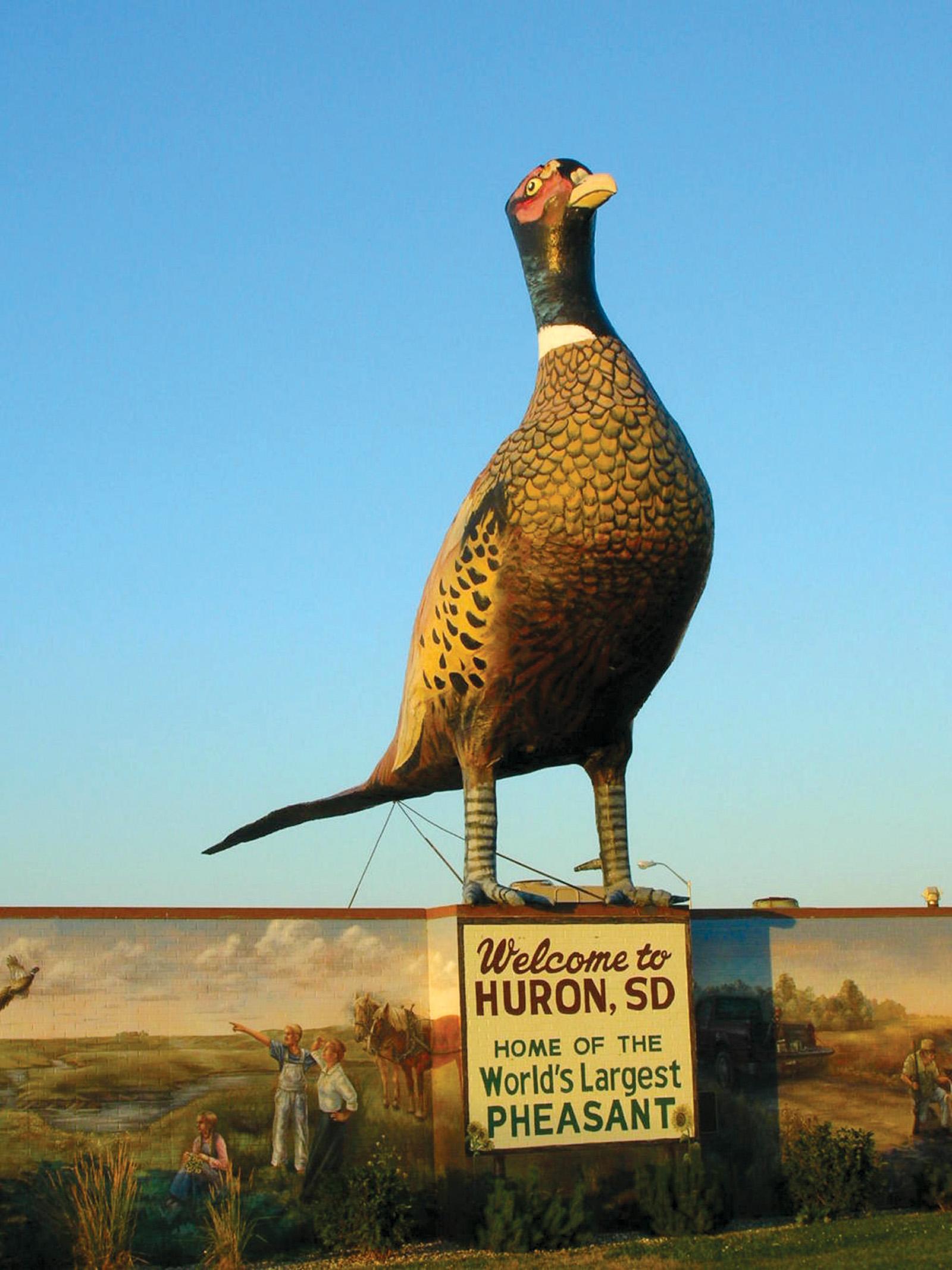 Pheasant Male Ringneck Flying