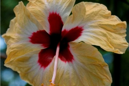 Scientific name of china rose flower flowers online 2018 flowers hibiscus rosa sinensis china rose botany studies floral diagram of hibiscus rosa sinensis botany what is solitary flower biology stack exchange e g china ccuart Gallery
