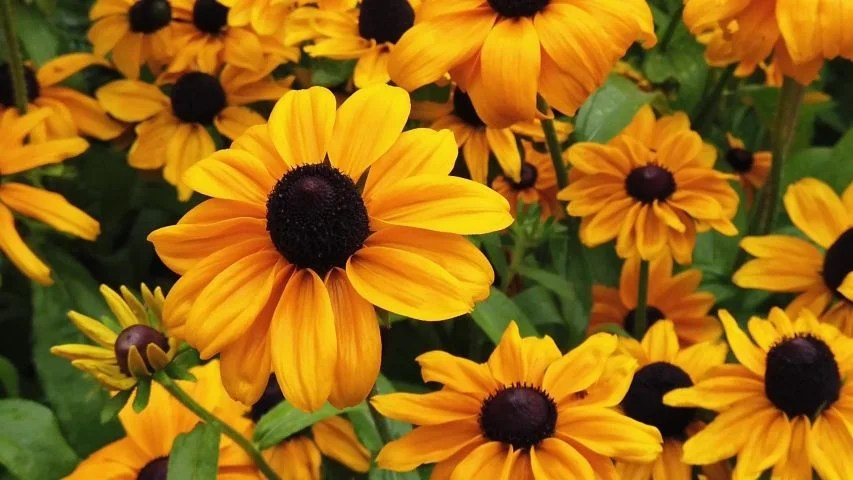 brown eyed susan - 853×480