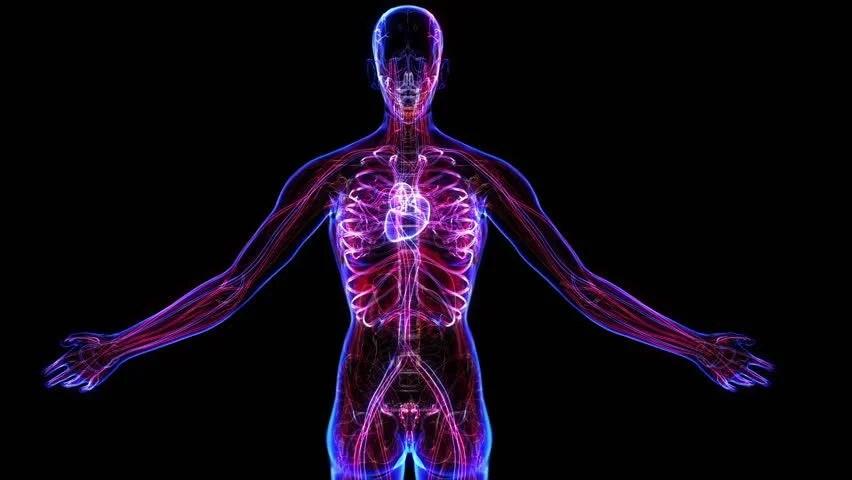 Female Circulatory System. Loop Stock Footage Video ...