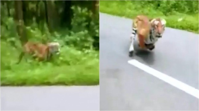 Two Bikers Miraculously Escape A Tiger Attack Watch The
