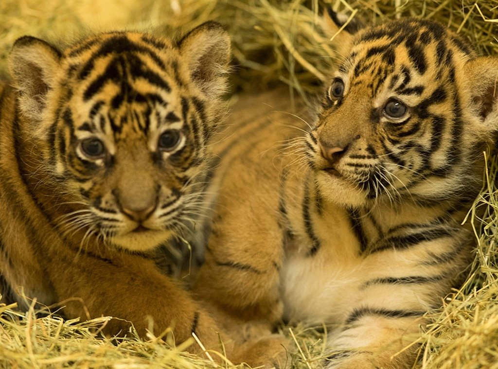 Tiger Gives Birth to Cubs at Disney s Animal Kingdom   E  News Baby Tigers  Disney s Animal Kingdom