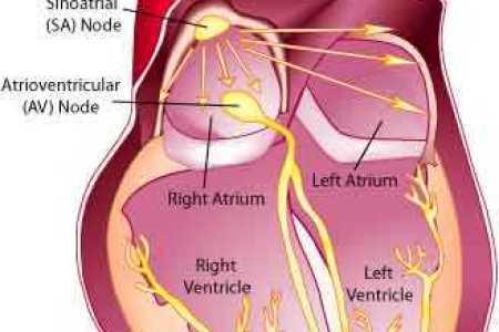 Interior Internal Anatomy Of The Heart Full Hd Maps Locations
