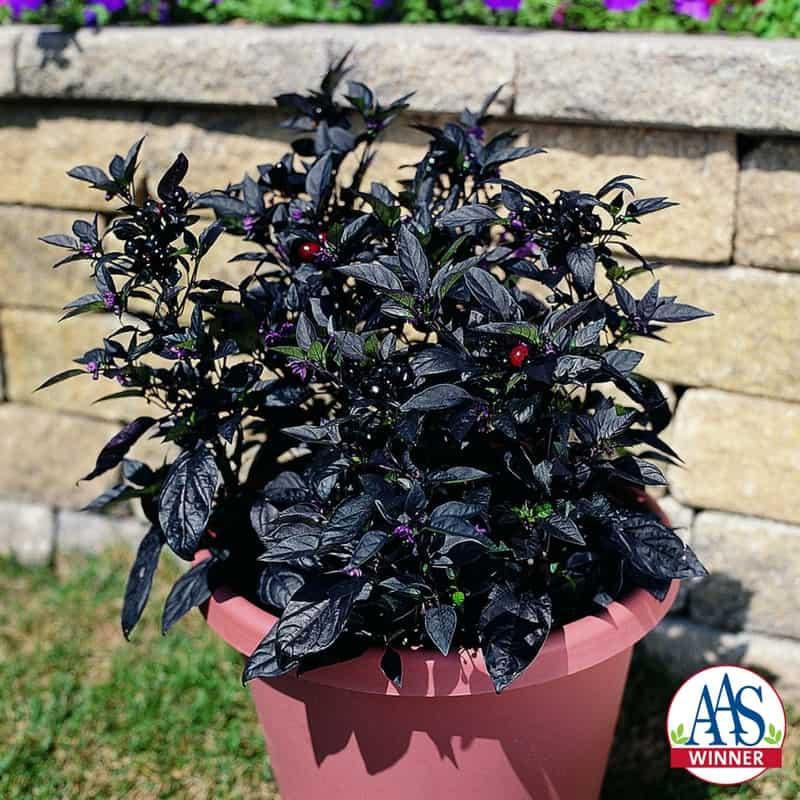 Ornamental Pepper Plant Care