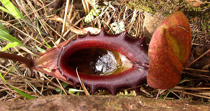 The Pitcher Plant Is The Carnivorous Plant Of Little ...