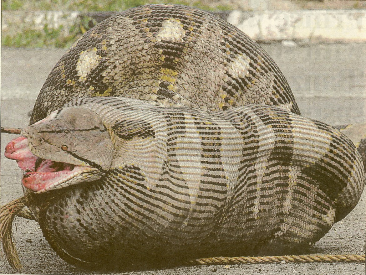 Full Grown Burmese Python