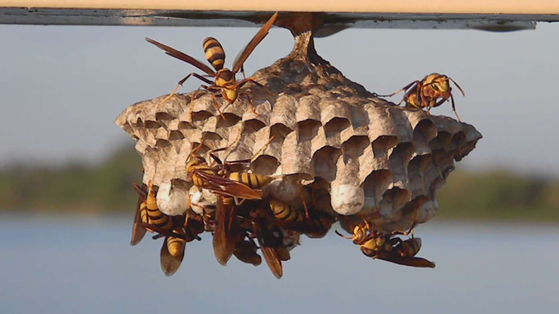 How To Remove A Wasp Nest Alpine Farms Bee Removal