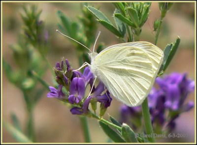 Cabbage White butterfly in Utah
