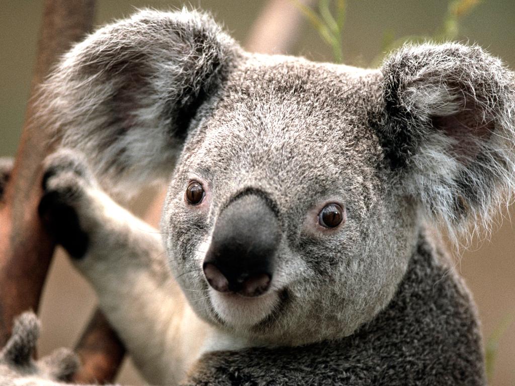 Koalas. Not Your Average Bear | American Aussie