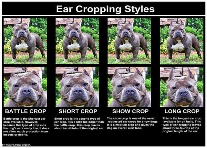 All Cropped Bulldogs American Ears