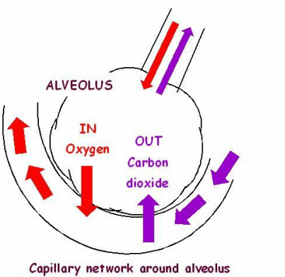 Lungs & trees & gas exchange - And on another note...