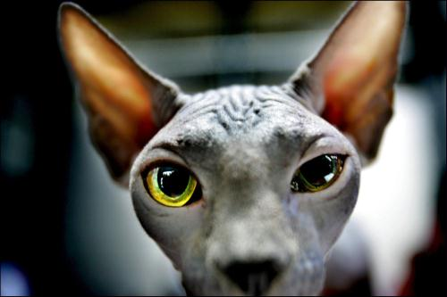 Chinese Hairless Cat; Image ONLY