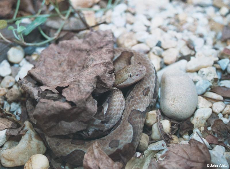 Northern Copperhead; DISPLAY FULL IMAGE.