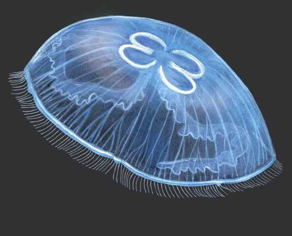 Types Jellyfish Names