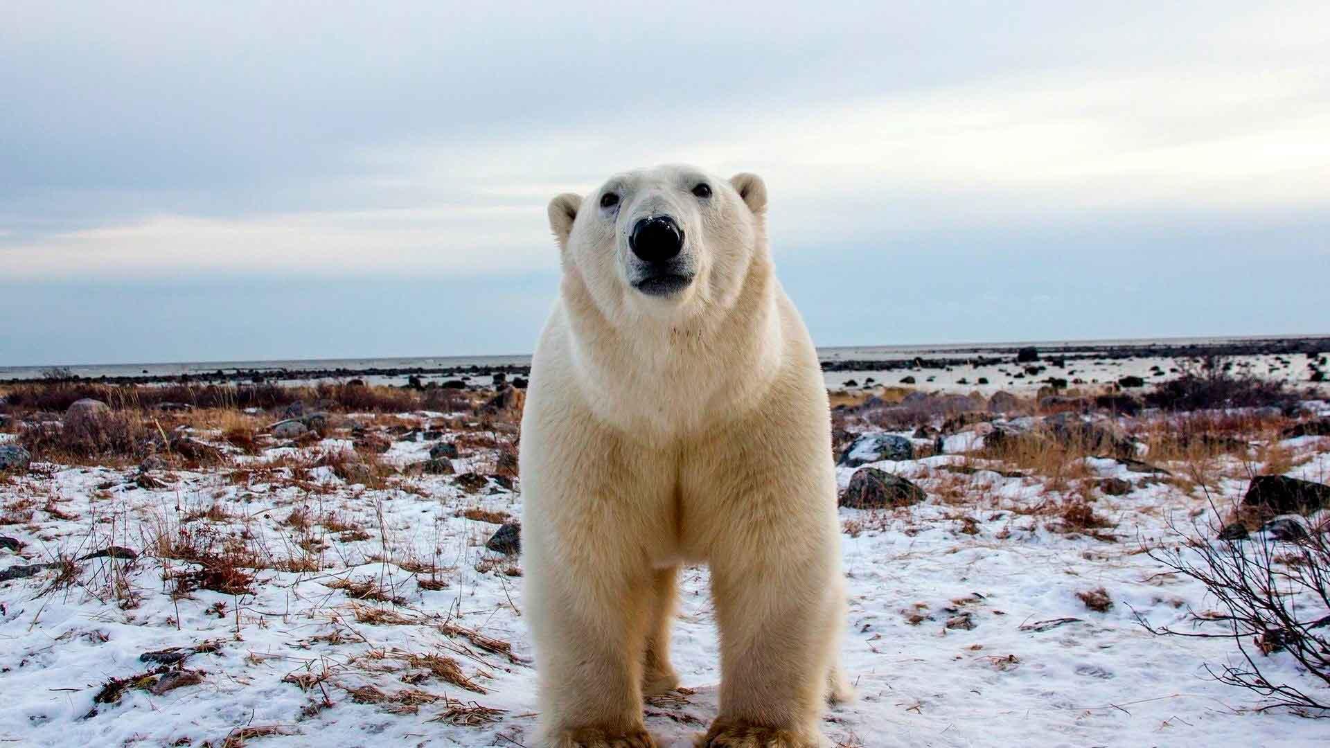 Полярлық аю арктикалық шөлдерде тұрады