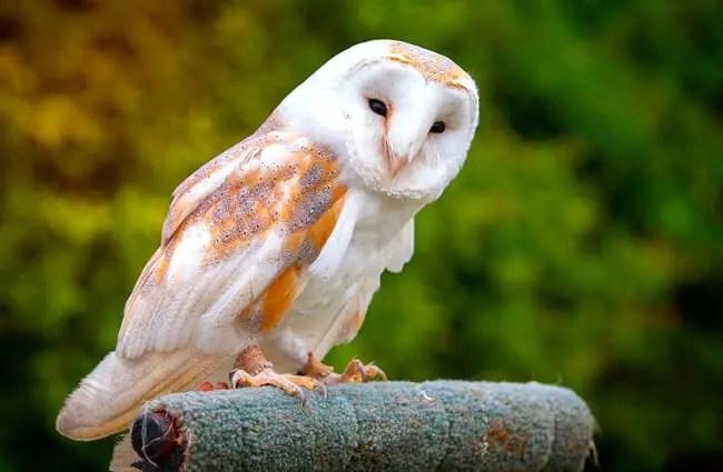Barn Owl - Description, Habitat, Image, Diet, and ...