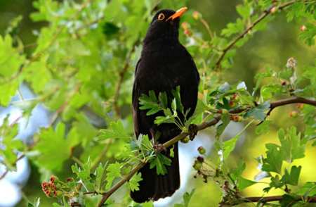 Blackbird - Description, Habitat, Image, Diet, And Interesting Facts