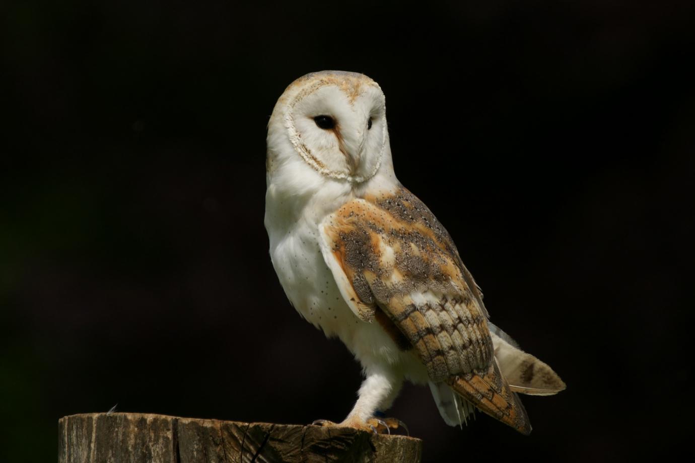 Barn Owl - Facts, Pictures, Diet, Breeding, Habitat ...