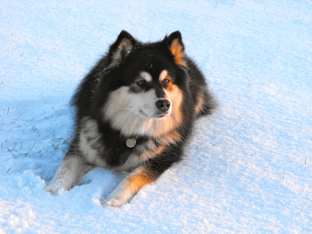Finnish Lapphund - Puppies, Rescue, Pictures, Information ...
