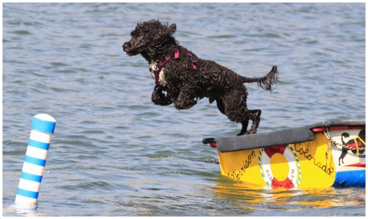 Portuguese Water Dog Rescue