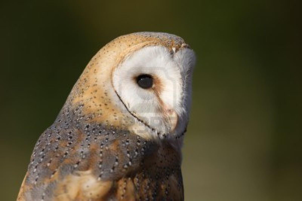barn owl facts for kids - Animals Time