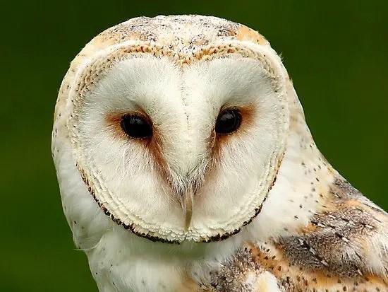 Barn Owl Facts For Kids | Barn Owl Diet & Habitat
