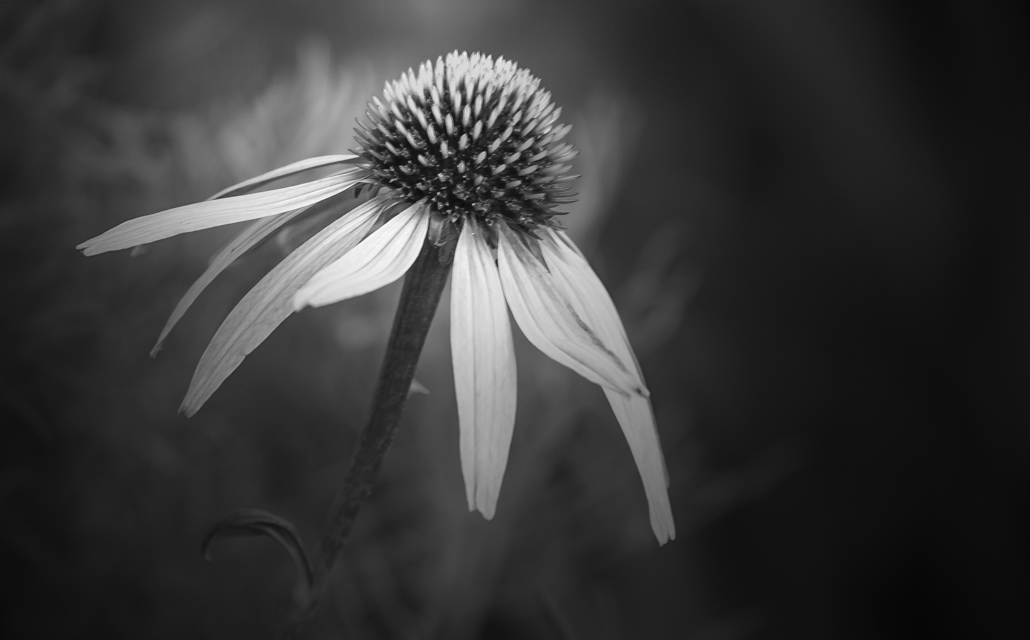 Flowers in Black and White   Annette Schreiber   Fine Art Photography echinacea 2 by annette schreiber