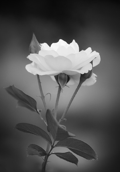 Flowers in Black and White   Annette Schreiber   Fine Art Photography purity and innocence tulip 4 by annette schreiber