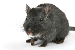Sådan slippe af med mus