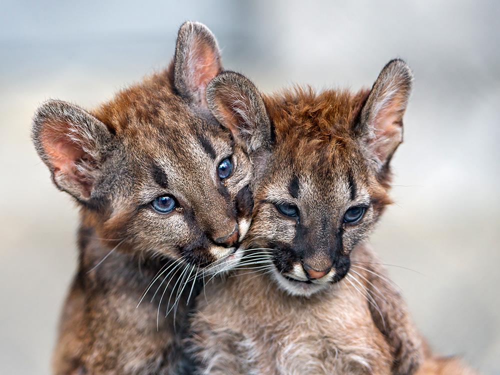 Cougar: Ghost of Appalachia > Appalachian Voices
